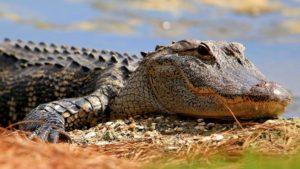 alligator-678x381