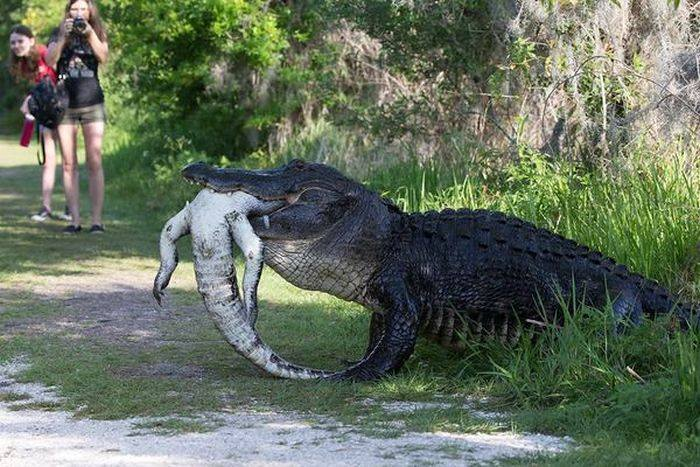 alligator-eating-alligator-circle-of-life