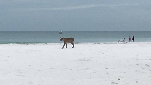 bobcat on beach