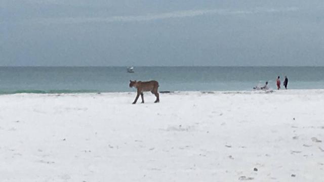 bobcat on beach