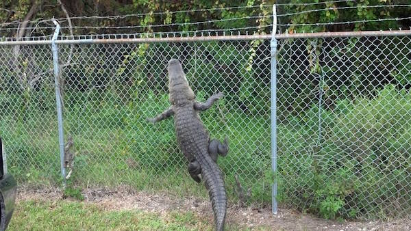 Florida Nope Gator Fence