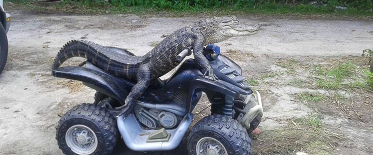alligator on ATV