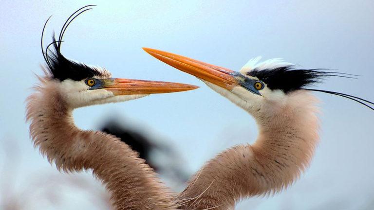 blue-herons-birds