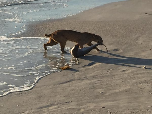 Bobcat snatching a shark out of the water at Vero Beach, Florida
