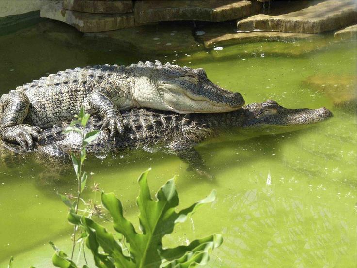 gators-love