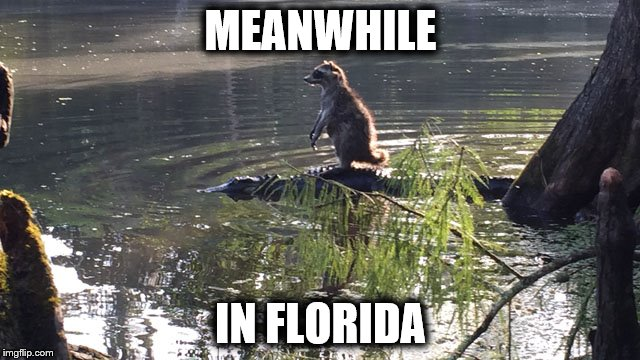 racoon on gator