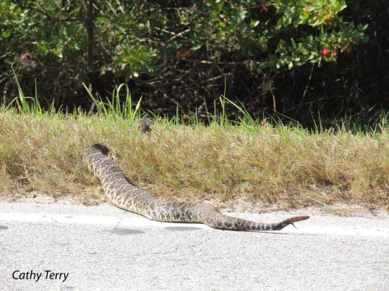 rattlesnake bartow