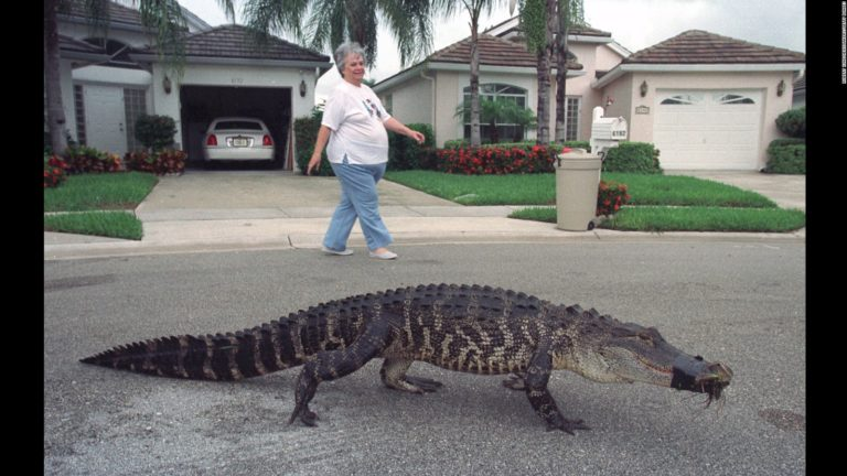 walking-gator