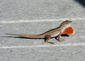 Brown-Anole-Picture