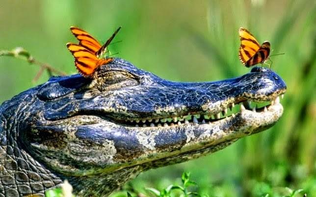 Meditating Gator