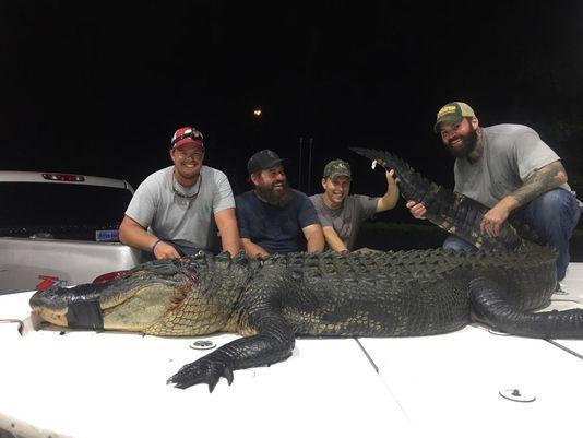 blackwater-bay-Alligator