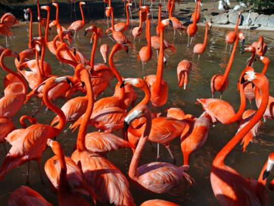 flamingos-busch-gardens