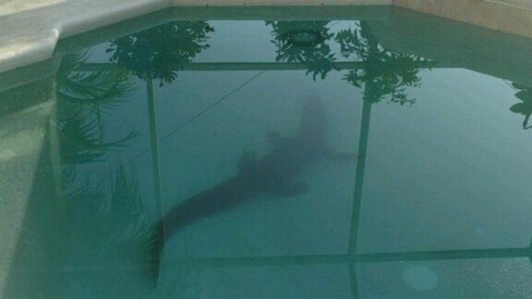 gator-in-pool-lithia