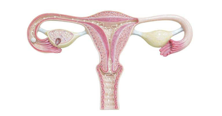 uterus medical