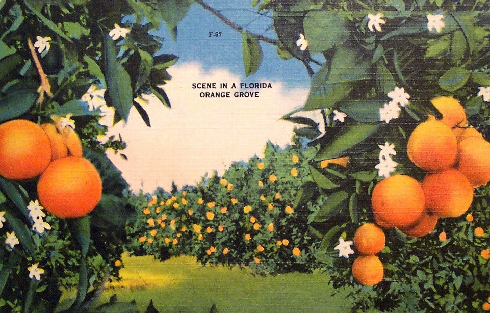 florida orange post card