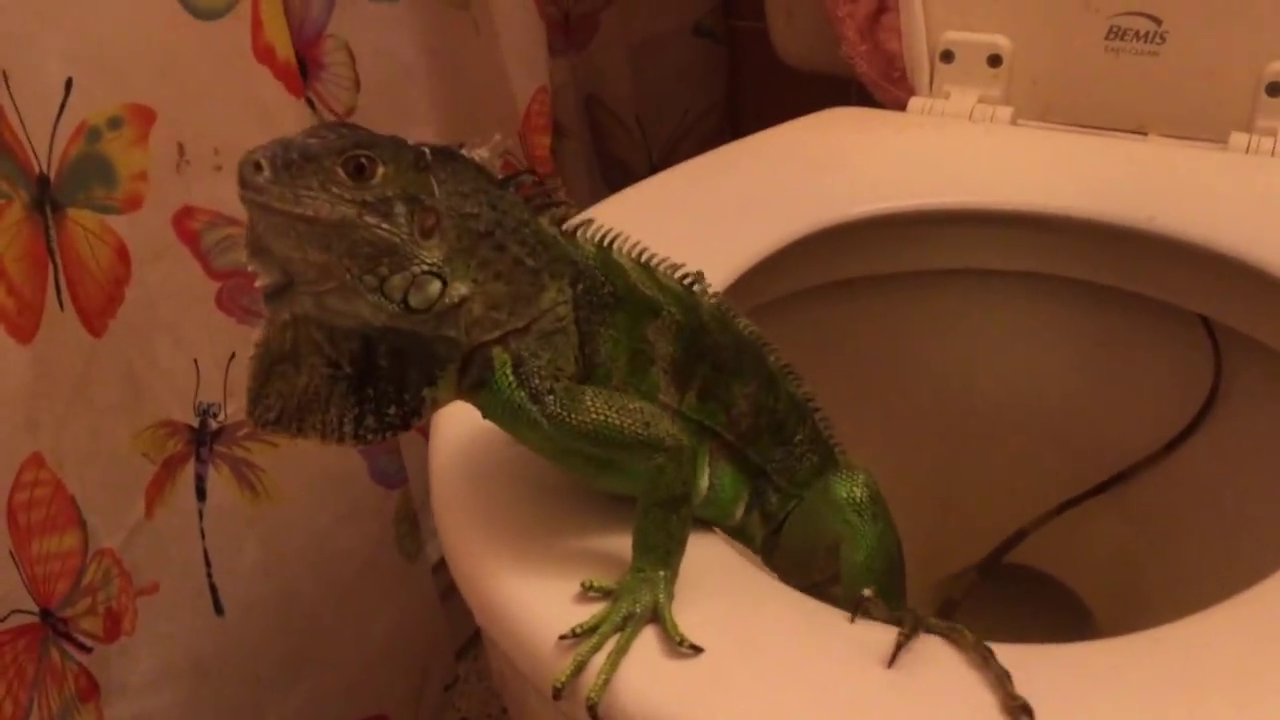 iguana in toilet hialeah
