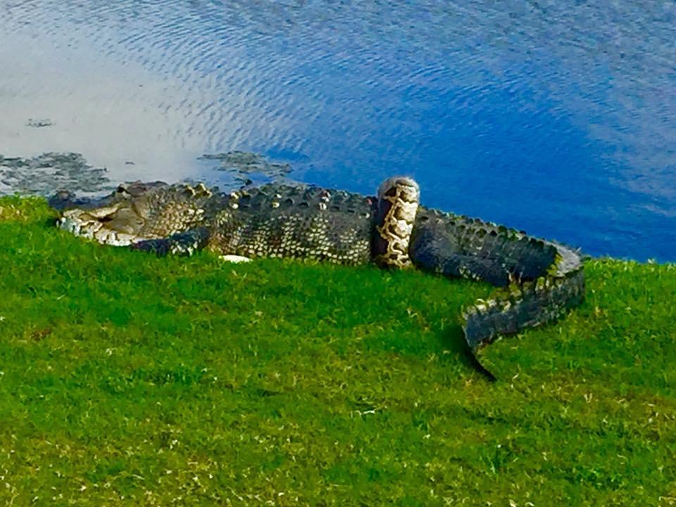 gator vs python 1